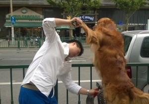 Golden retriever that was the house dog at our DVD store in Shanghai