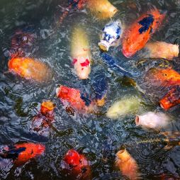 The koi are hungry